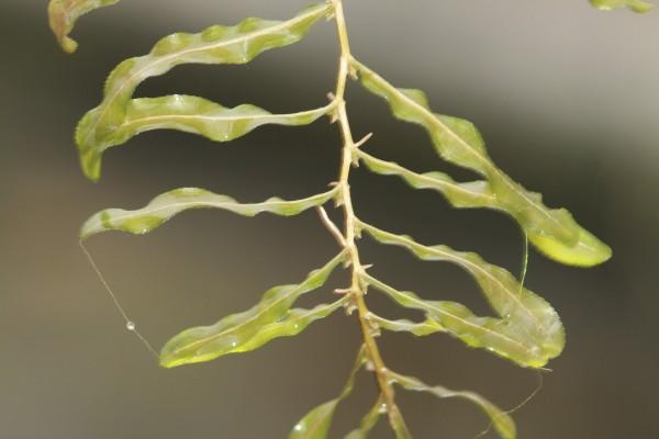 נהרונית מסולסלת Potamogeton crispus L.