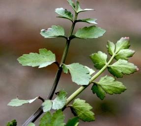 עלי-הגבעול גזורים לאונות על פי רוב, בעלי אוזניות או דמויי לב בבסיסם. עשבים רעים של משתלות נוי בקיץ.