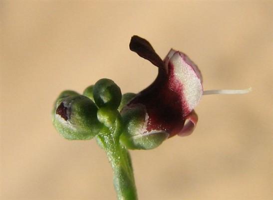 Scrophularia hypericifolia Wydler
