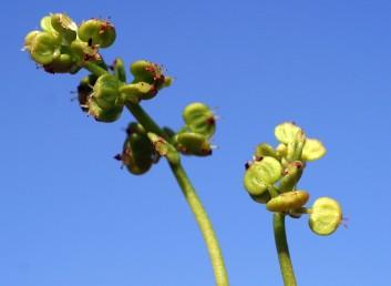 הפרחים ערוכים על ציר התפרחת בקבוצות נפרדות זו מזו.