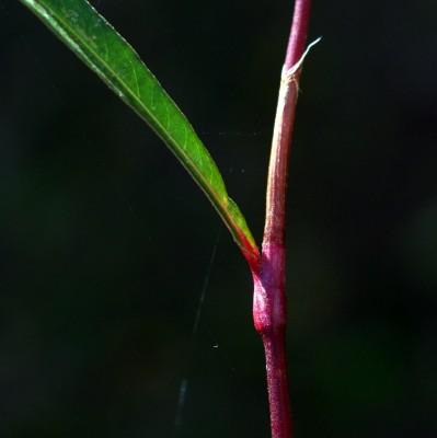 ארכובית משונשנת Persicaria decipiens (R.Br.) K.L. Wilson