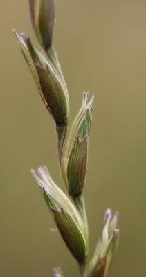Aegilops sharonensis Eig