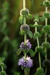 דורי הפרחים כדוריים, מרוחקים זה מזה, קוטרם 1.5-1 ס