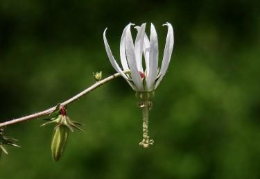 הפרח ענקי, נטוי מטה, בעל 10-8 אונות גביע ו-10-8 אונות כותרת