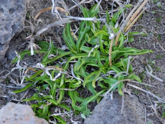 חרחבינה טובענית Eryngium barrelieri Boiss.
