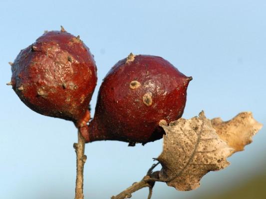 Quercus boissieri Reut.