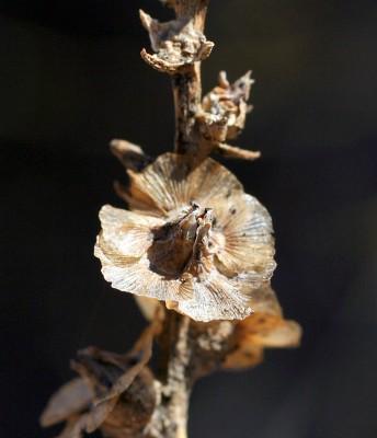 Halothamnus lancifolius (Boiss.) Kothe-Heinrich
