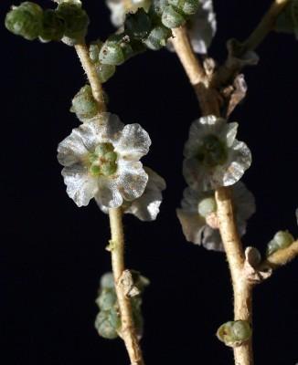 מלחית עדינה Salsola incanescens C.A.Mey.
