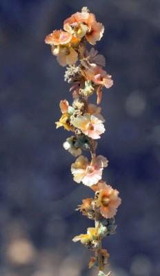מלחית מזרחית Salsola orientalis S.G.Gmel.