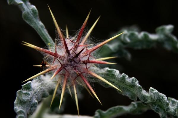 Centaurea aegyptiaca L.