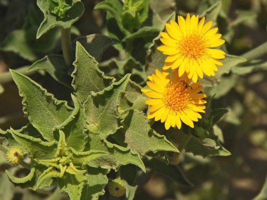 טיונית החולות Heterotheca subaxillaris (Lam.) Britton & Rusby