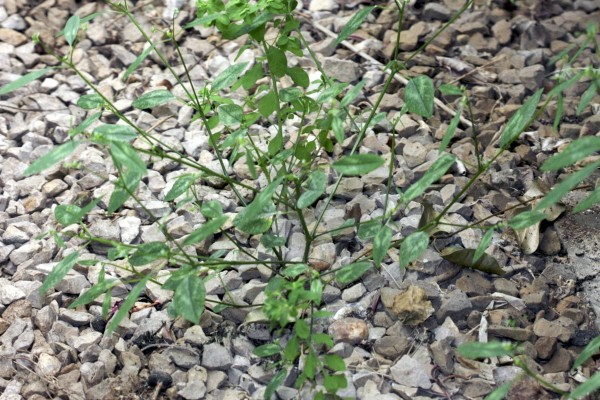 חלבלוב דגני Euphorbia graminea Jacq.