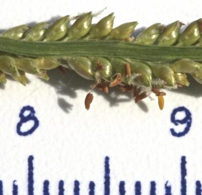 פספלת התאומים Paspalidium geminatum (Forssk.) Stapf