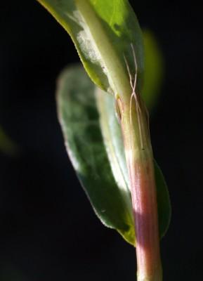 בת-ארכובית משונשנת Persicaria decipiens (R.Br.) K.L. Wilson