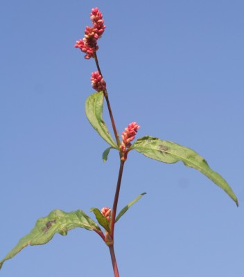 ארכובית הכתמים Persicaria lapathifolia (L.) S.F. Gray