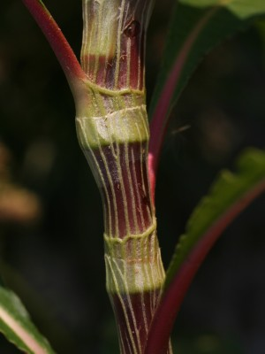 ארכובית סנגלית Persicaria senegalensis (Meissn.) Sojak