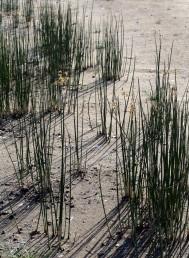משגש בשטחי חוף שנחשפים עם ירידת פני הכנרת בשנות בצורת.