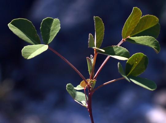 דבשה לבנה Melilotus albus Medik. ex Desr.