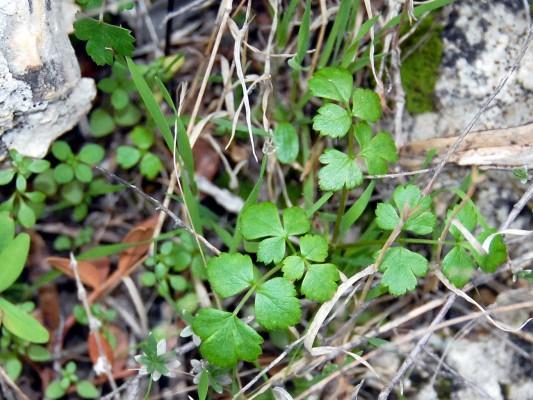 סקליגריה כרתית Scaligeria napiformis (Willd. ex Spreng.) Grande