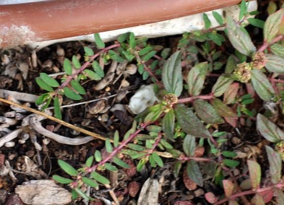 Euphorbia forsskalii Gay