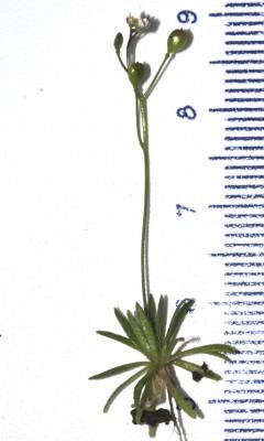 Erophila minima C.A.Mey.