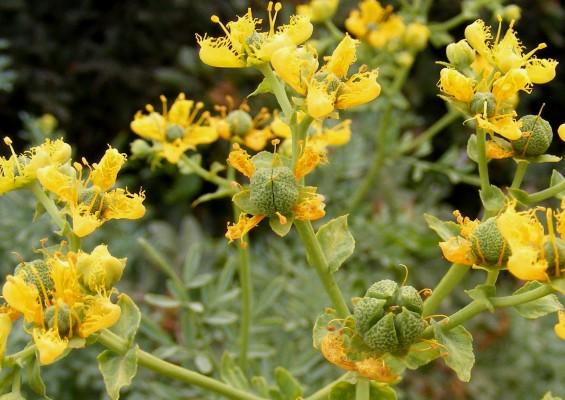 פיגם מצוי Ruta chalepensis L.