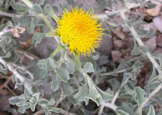 מרית מדברית Anvillea garcinii (Burm.f.) DC.