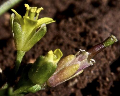 טוריים קטנים Diplotaxis viminea (L.) DC.