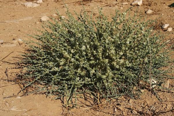 אלניה נאה Halothamnus hierochunticus (Bornm.) Botsch.