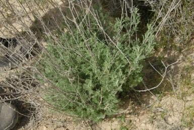 בני-שיח אפורים, ריחניים, גזורי עלים גדלים ושולטים בערבות בני-שיח.
