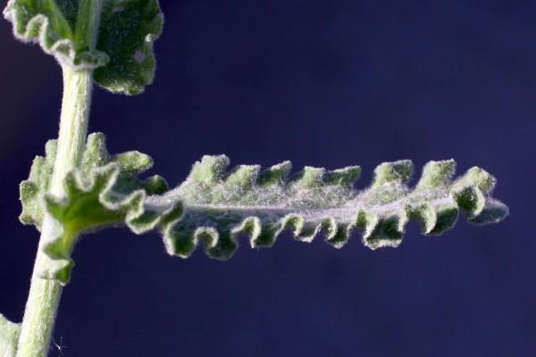 Pulicaria incisa (Lam.) DC.