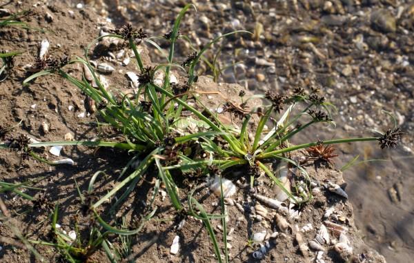 גומא חום Cyperus fuscus L.