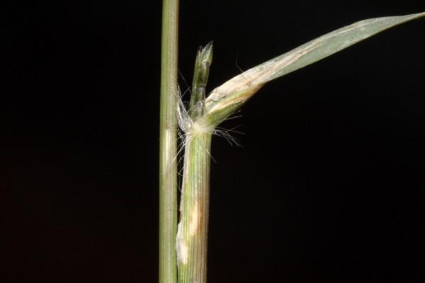 בן-חילף נמוך Eragrostis barrelieri Daveau