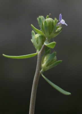פשתנית זעירה Linaria micrantha (Cav.) Hoffmanns. & Link