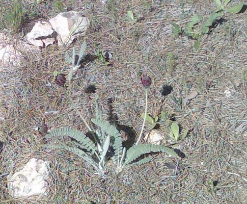 קדד נאה Astragalus cretaceus Boiss. & Kotschy