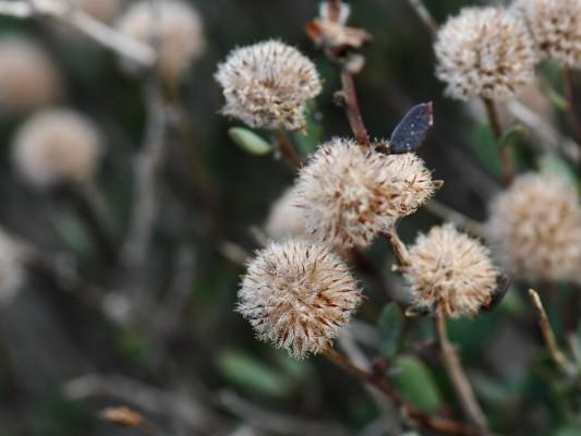 גולנית ערב Globularia arabica Jaub. & Spach