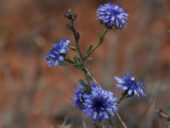 בני-שיח. הפרחים רבים, ערוכים בקרקפות צפופות. הכותרת דו-שפתנית צבעה כחול.