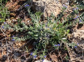 צמחים שרועים של קרקעות חוליות במישור החוף.
