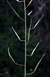 צמחים של קרקעות חוליות. אורך התרמיל יותר מ-30 מ