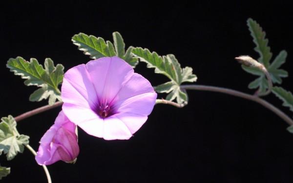 חבלבל כפני Convolvulus althaeoides L.
