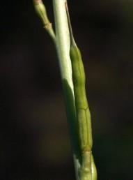 עלי הכותרת בצבע ורוד. הפרי ישר, המקור בעל 3-1 זרעים. צמחי החבל הים-תיכוני.