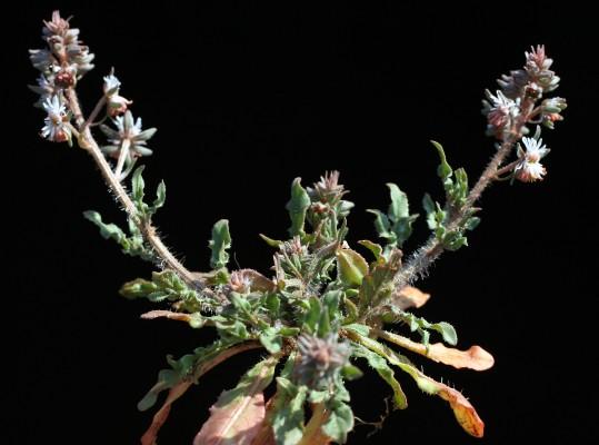 רכפה מזרחית Reseda orientalis (Muell.Arg.) Boiss.