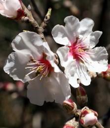 הכותרת לבנה, מרכז הפרח ארגמן-אדמדם.