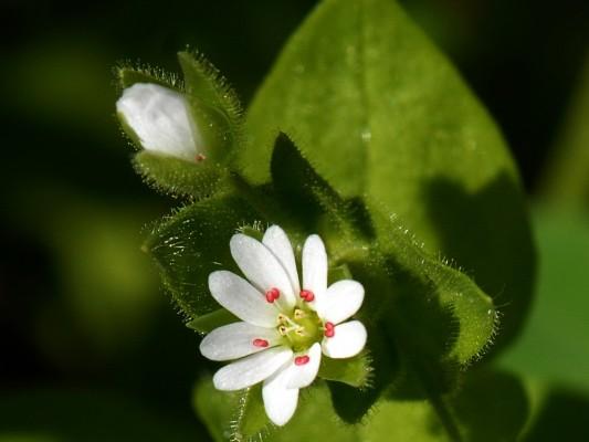 כוכבית גדולה Stellaria cupaniana (Jord. & Fourr.) Beguinot
