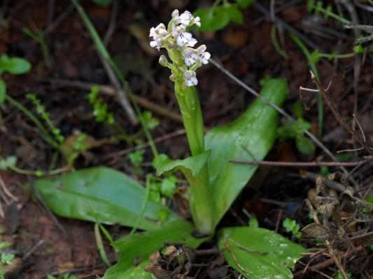 סחלב מצויר Orchis israelitica Baumann & Dafni