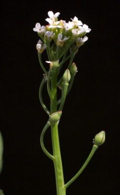 חלבינה מרושתת Calepina irregularis (Asso) Thell.