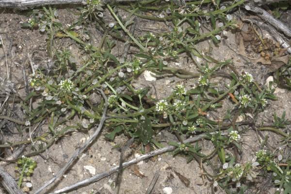 מללנית מצרית Lobularia libyca (Viv.) C.F.W.Meissn.
