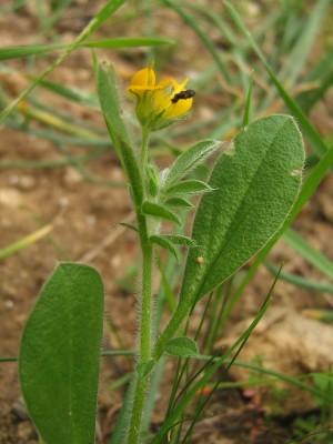 כליינית מצויה Hymenocarpos circinnatus (L.) Savi