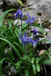 צמחים הגדלים בצל החורש המזופילי בצפון הארץ. הפרחים בעלי עטיף כחול נישאים על עמוד תפרחת קצר, 25-15 ס