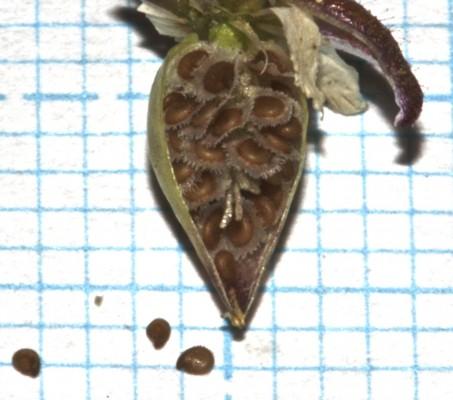 אפזרית מלוחה Spergularia salina J. & C.Presl
